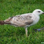 Крупная чайка, поедающая голубя. Молодая средиземноморская чайка.