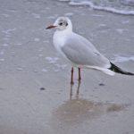 Черноморская чайка на мокром песке у самой кромки воды