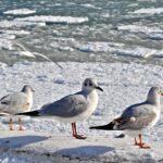 Чайки на фоне замёрзшего зимнего моря