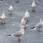 Чайки на скользком льду недавно замёрзшего пруда
