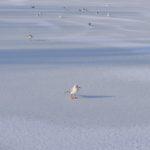 Чайки на льду замёрзшего пруда в городском парке
