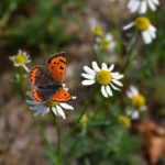 Червонец пятнистый на цветке ромашки