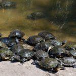 Черепахи греются под солнцем