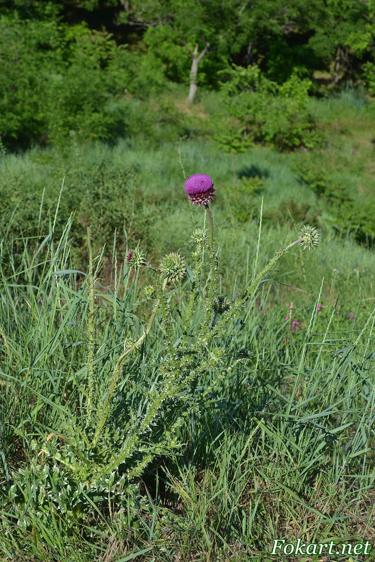 Чертополох, растущий среди трав, на зелёном склоне. Вид сверху вниз.