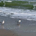 Две чайки, шагающие по берегу моря.