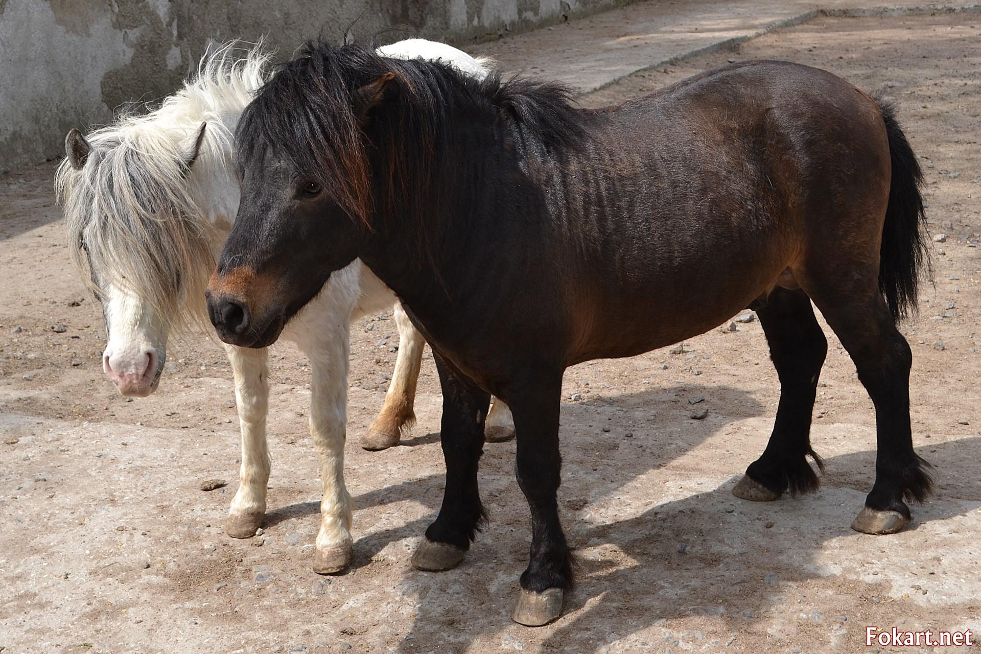 Шетлендские пони, коричневый и светлый