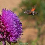 Языкан обыкновенный парит в воздухе возле цветка чертополоха