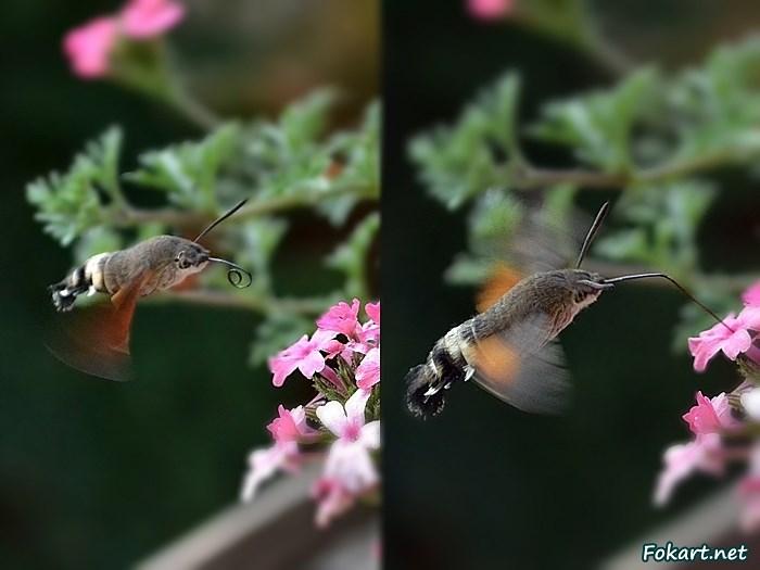 Языкан обыкновенный (Macroglossum stellatarum) подлетает к цветку