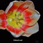 Раскрытый яркий тюльпан на тёмном фоне на весь экран