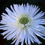 Белый цветок хризантемы Anastasia gem