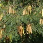 Альбиция ленкоранская ( акация шёлковая, шёлковое дерево) осенью.
