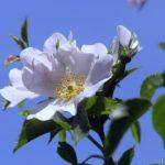 Белые цветки шиповника на фоне неба