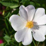 Белый цветок шиповника вблизи