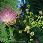 Бутоны альбиции, начало цветения