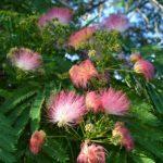 Ветка альбиции в начале цветения