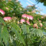 """Пушистые """"кисточки""""-соцветия и ярко-зелёные мелкие листья альбиции ленкоранской"""
