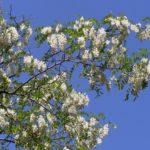 Цветущая ветка белой акации, или Робинии обыкновенной (Robinia pseudoacacia)