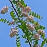 Цветущая ветка Робинии щетинистоволосой (Robinia hispida), по-народному - розовой акации.