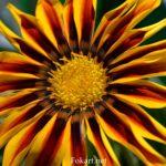 Полосатый цветок газании вблизи