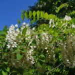 Ароматное цветение робинии обыкновенной