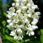 Белое соцветие Робинии обыкновенной (Robinia pseudoacacia) имеет форму поникающей кисти и несравненный аромат