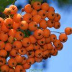 Созревающие ягоды рябины красной в августе
