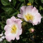 Два цветка шиповника обыкновенного на кусте в конце мая.