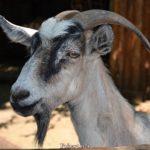 Серая домашняя коза с тёмно-серой бородой и такого же цвета пятнами над глазами и вдоль морды