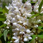 Душистая гроздь белой акации