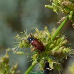 Коричневый жук-усач на соцветии травы в июне
