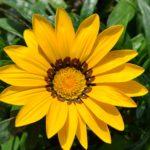 Жёлтый цветок газании в мягком освещении осеннего солнца