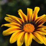 Жёлтый цветок газании