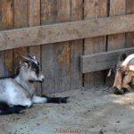 Домашняя коза и серый козлёнок отдыхают у забора