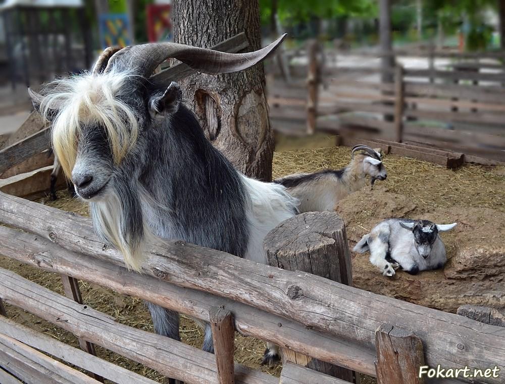 Бородатый козёл, коза и козлёнок, отдыхающий на камне