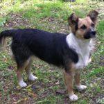 Очень симпатичная дворовая собачка смешанных пород с тёмной спинкой, белой грудкой и рыжей головой