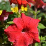 Красный цветок петунии гибридной