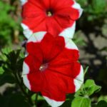 Ярко-красный цветок петунии с белыми краешками лепестков