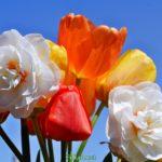 Махровые нарциссы и тюльпаны на фоне неба