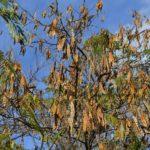 Альбиция в конце октября. Ветки со множеством плодов