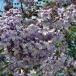 Цветущая ветка Павловнии Elongata