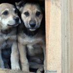 Четырёхмесячные щенки дворняжки выглядывают из будки.