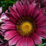 Пурпурный цветок газании крупным планом