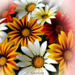 Разноцветные цветки газании