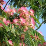 Роскошное цветение альбиции ленкоранской (Albizia julibrissin). Яркие и душистые соцветия среди красивых листьев.