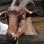 Рыжая коза за забором. Фото вблизи.
