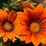 Оранжево-рыжие цветки газании осенью так же хороши, как и летом