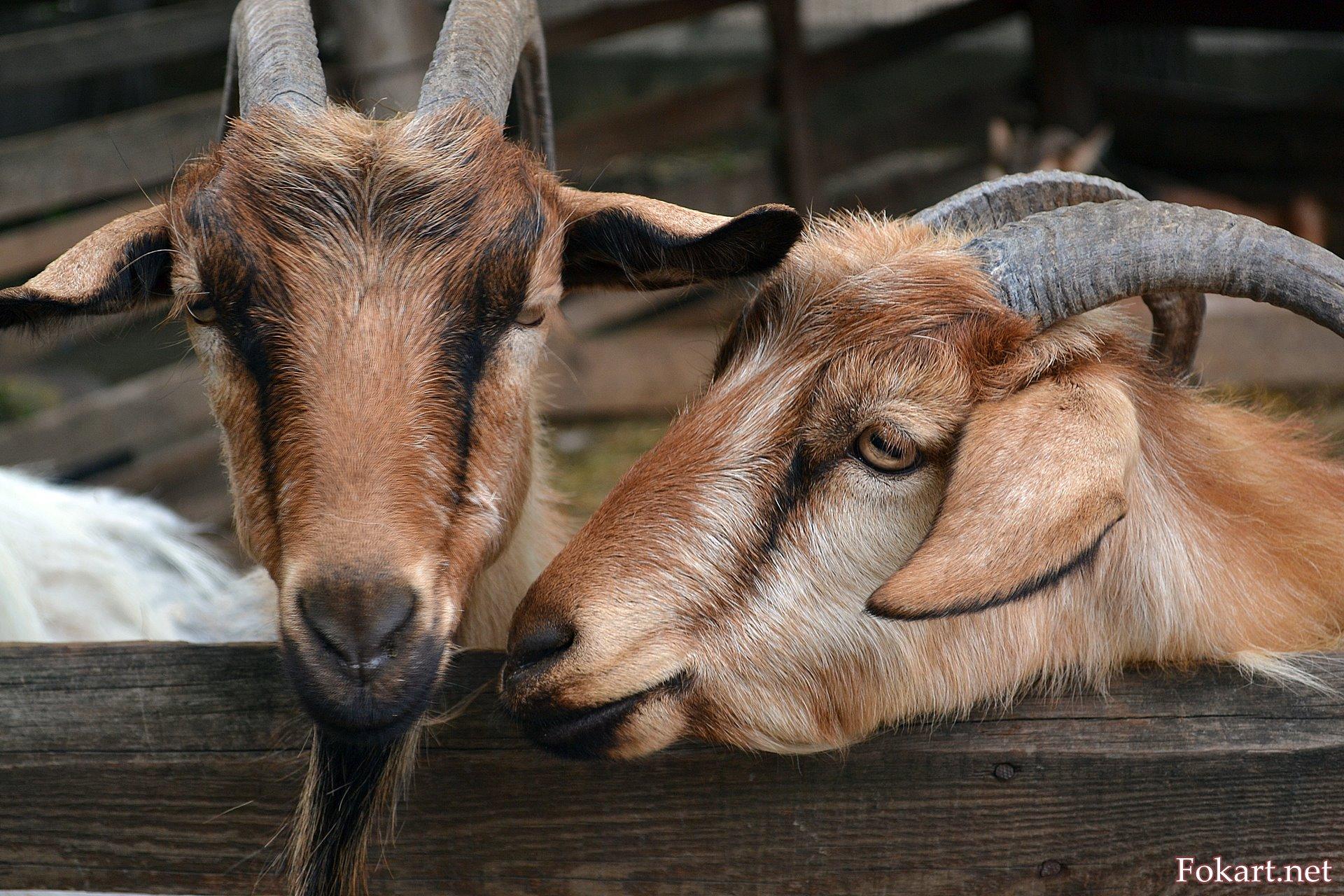 Две рыжих козы у забора