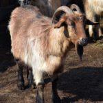 Рыжий козёл на скотном дворе