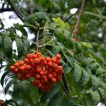 Гроздь рябины на дереве в сентябре