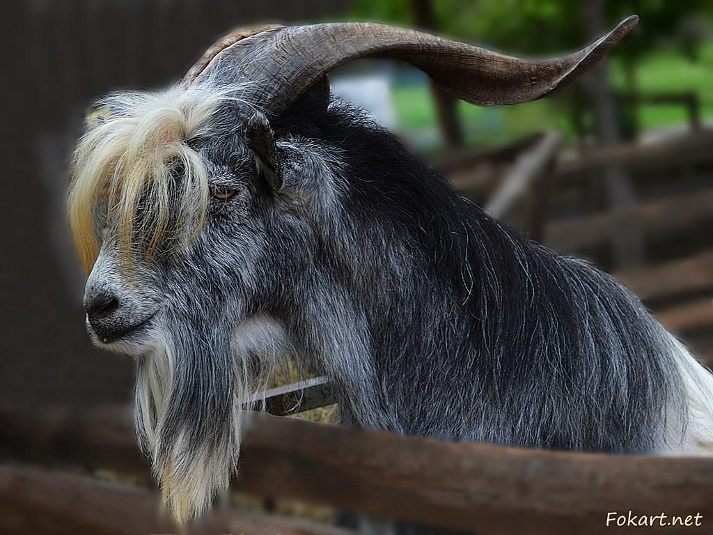Серый козёл в загоне у забора. Фото вблизи.